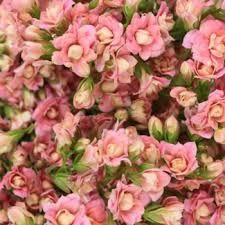 bulk flowers pink kalanchoe bulk flowers