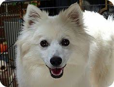 american eskimo dog adoption how to groom an american eskimo dog the american eskimo dog is an