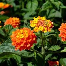 illustrated list of ornamental plants center for the study of