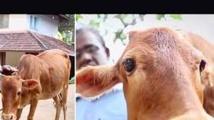 indian cow enters guinness book of world records for being