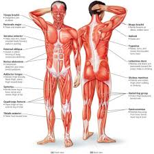 Body Anatomy Back Muscular System Major Muscles Major Muscles Of The Body Anatomy