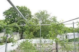 kiwi trellis arbor general fruit growing growing fruit