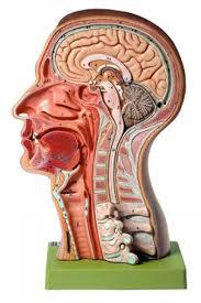 Nervous System Human Anatomy Somso Model Of The Head Brain Head Nervous System Human