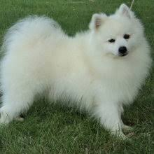 american eskimo dog rescue michigan american eskimo dog puppies for sale