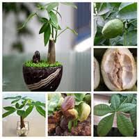 wholesale money tree plants buy cheap money tree plants from