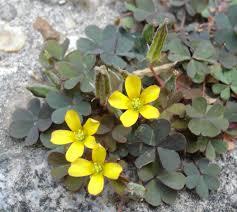 manitoba native plants oxalis corniculata var atropurpurea flores pinterest gardens
