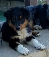 3 winds ranch australian shepherd coronado u0027s australian shepherds u0026 quarter horses for sale