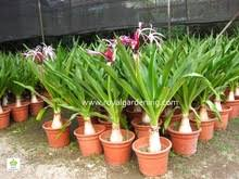 buy germinated crinum amabile pink giant spider lily 10 bulbs in