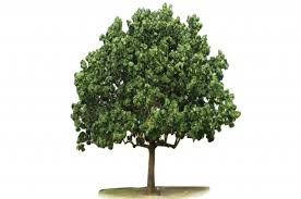 tree symbol the blue mahoe jamaican national symbol