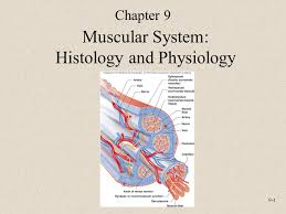 Anatomy And Physiology The Muscular System 9 1 Muscular System Histology And Physiology Chapter Ppt Download