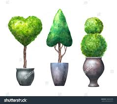 topiary trees uk real for sale adelaide