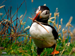 puffin love pinterest animal and beautiful birds