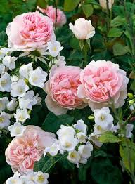a fabulous duo to try rose u0027sharifa asma u0027 with campanula