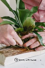garden diy mounting a staghorn fern the fresh exchange tips