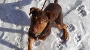 american eskimo dog jack russell mix billings mt jack russell terrier meet jordan a dog for adoption