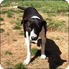 american pitbull terrier dalmatian mix mesa az pit bull terrier dalmatian mix meet phoebe a dog for