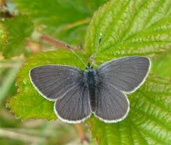small blue butterfly easthavenangus com
