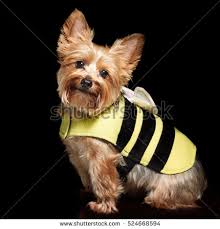 Halloween Costumes Yorkies Yorkie Stock Images Royalty Free Images U0026 Vectors Shutterstock