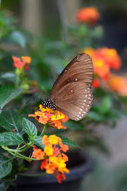 tropical butterfly feeding bai orchid and butterfly farm mae