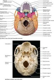 Human Anatomy Skull Bones Part 1 The Axial Skeleton 7 1 The Skull Consists Of 8 Cranial