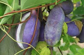 akebia quinata chocolate vine and vital fruit fruit