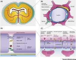 Blood Brain Barrier Anatomy Stem Cell Based Human Blood U2013brain Barrier Models For Drug