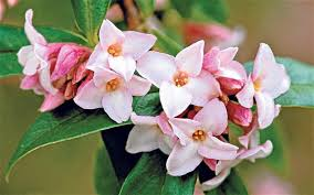 Scented Flowering Shrubs - scented flowers of february telegraph