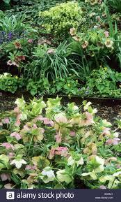 winter woodland border hellebores helleborus orientalis hybrids