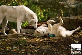 animals with soccer balls is adoracute wolves sbnation com
