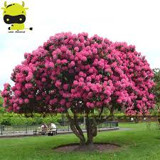 aliexpress buy pink cherry blossom tree seed 5