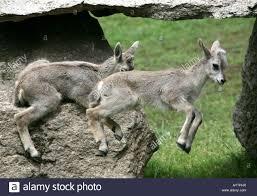two lambs of bharal or himalayan blue sheep pseudois nayaur at