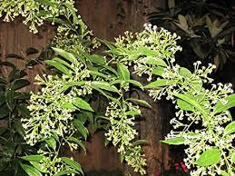 Fragrant Jasmine Plant - amazon com worlds most fragrant night jasmine rare 7 seeds