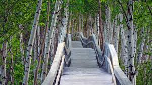 raised boardwalk and white birch trees in sackville waterfowl park