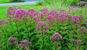 plants native to north america joe pye weed pictures little joe pye weed love photos