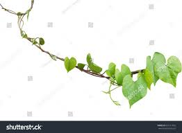 heart shaped greenery leaves obscure morning stock photo 657111925