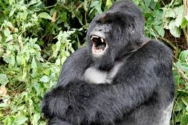 gorilla warfare why are apes committing mob violence the atlantic