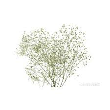 baby s breath wholesale baby s breath wholesale flowers 9 30 liked on polyvore