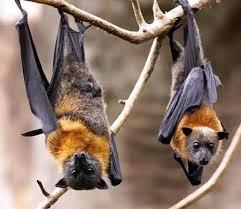 mammiferi volanti pipistrelli viri o morbidi criceti volanti gazzettino della magia