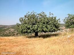 fig trees bibleplaces