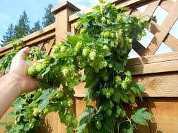 hops in pots and pots of hops lots and lots of homegrown hops