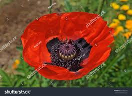 opium papaver somniferum close red black opium stock photo 341556737