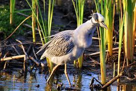 Louisiana birds images South louisiana birds blue dog nights jpg