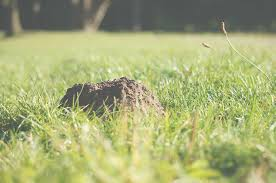 mole control u2013 go green lawn u0026 tree care