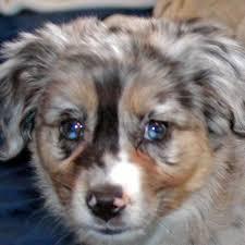 australian shepherd puppy mini australian shepherd puppy for sale in boca raton south florida
