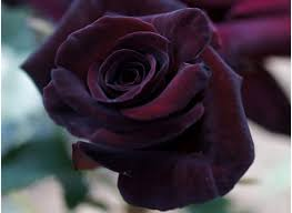 black roses 7 most beautiful black roses in the world