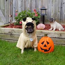 happy halloween funny picture pug wallpaper screensaver background our pug bailey puggins