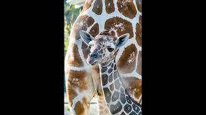 baby giraffe born on thanksgiving at busch gardens story fox