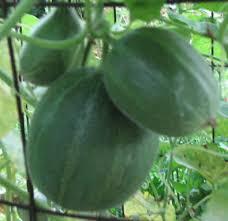 Cucumber Spacing On Trellis How To Grow Mini Melons On A Trellis Appalachian Feet