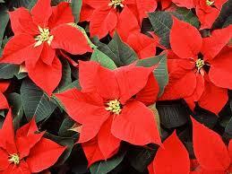 christmas plants 8 jolly christmas plants britannica