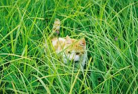 can cats eat ornamental grass pets